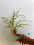 Spider Plants - Chlorophytum comosum - Plant Gifts - Air purifying plants