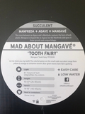 "Mangave ""Tooth Fairy"" - Mangave Plant - Agave gypsophila - Mad About Mangave"