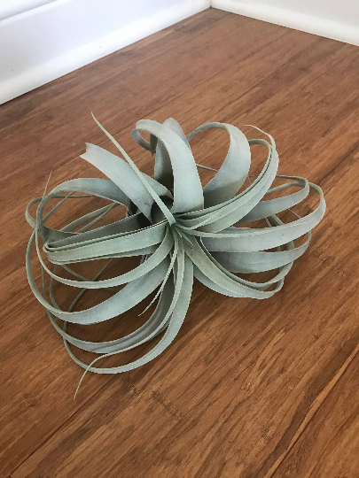 Extra Large Xerographica Air plant