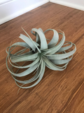 Xerographica Air plant - Extra Large