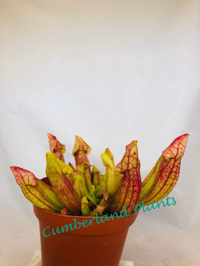 "Sarracenia ""Carolina Yellow Jacket""(Sarracenia purpurea x rosea x flava) Pitcher Plants"