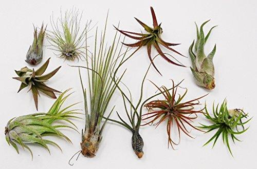 10 Pack Assorted Tillandsia-Easy Care Collection/Varieties - Farm Nevada - Gardeners Start Here