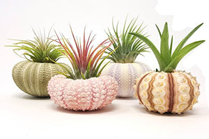 4 Pcs Sea Urchin Air Plant Lot / Kit Includes 4 Live Plants and 4 Sea Shells / Housewarming Home Decor Accents - Farm Nevada - Gardeners Start Here