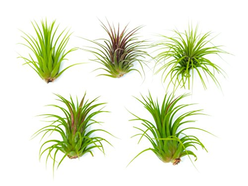 6 Low Light Air Plants - Pack of Low Light House Plants (One Species of Live Tillandsia Tropical House Plants for Sale) Wholesale Indoor Plants by Aquatic Arts - Farm Nevada - Gardeners Start Here