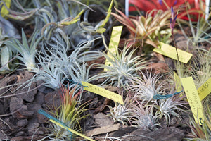 Air Plant Lot 1 Bottle of Organic Air Plant Fertilizer Food, 12pcs - Farm Nevada - Gardeners Start Here