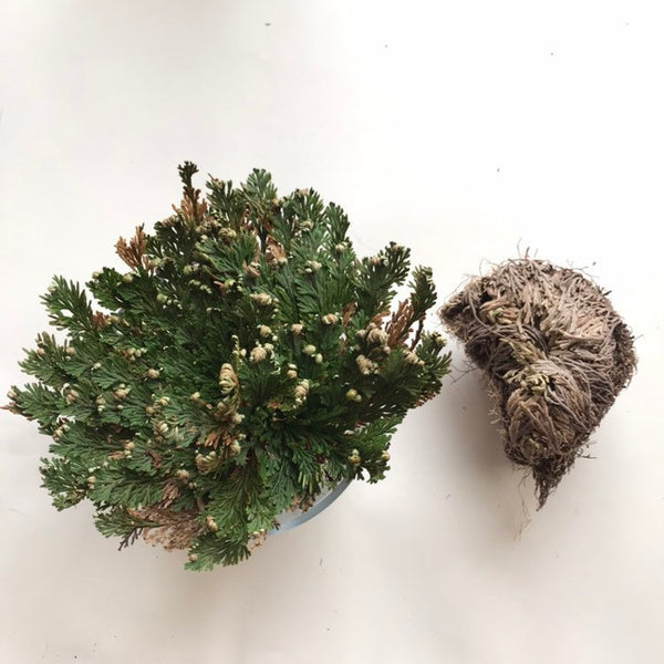 Rose of Jericho Resurrection Flower
