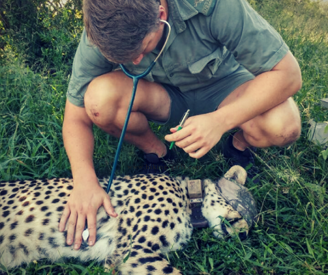 Wildlife Vet with Cheetah