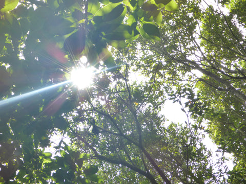 Sunlight Trees Leaves Photosynthesis