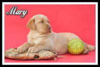 Labrador Retriever Puppy For Sale