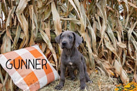 Gunner Male AKC Great Dane $1250