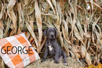 George Male AKC Great Dane $1250