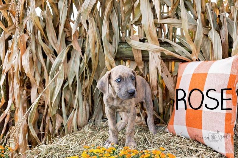 Rose Female AKC Great Dane $1250
