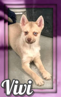 Vivi Female F2 Pomsky $500
