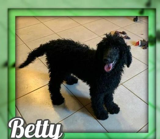 Betty Female Standard Poodle $375