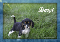 Daryl: Male Beaglier (Full Price $600.00) Deposit