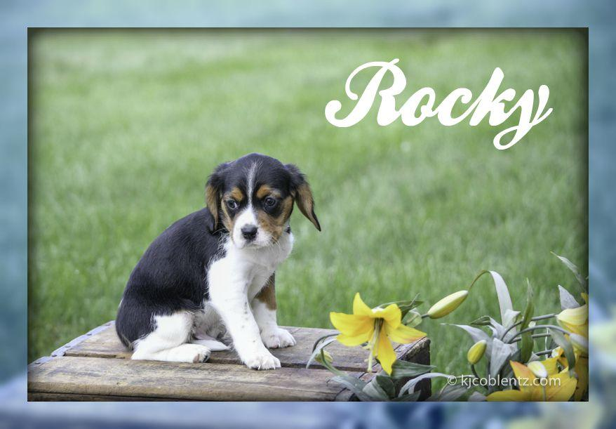 Rocky: Male Beaglier (Full Price $399.00) Deposit