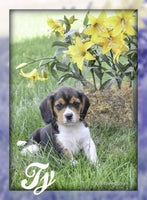 Ty: Male Beaglier (Full Price $600.00) Deposit