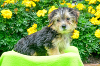 Baxter: Male Morkie (Full Price $800) Deposit
