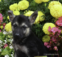 Cassandra: Female ICA German Shepherd (Full Price $600.00) Deposit