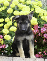 Jeremiah: Male ICA German Shepherd (Full Price $600.00) Deposit