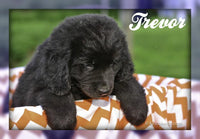 Trevor: Male Newfoundland (Full Price $900.00) Deposit