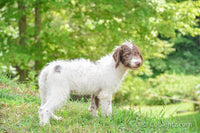 Calvin: Male Labradoodle (Full Price $399) Deposit