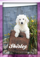 Shirley: Female Labradoodle (Full Price $400.00) Deposit