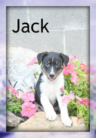 Jack: Male Fox Terrier $200