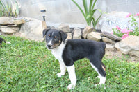 Jack: Male Toy Fox Terrier (Full Price $300) Deposit - Pups for sale in Ohio