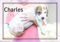 All Puppies For Sale | Beabull puppy for sale in Ohio | That