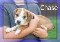 Chase: Male Beabull Puppy (Full Price 675.00) Deposit