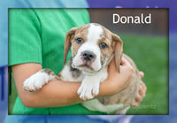 Donald: Male Beabull Puppy (Full Price 350.00) Deposit