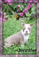 Jennifer: Female Boston Terrier AKC (Full Price $1350) Deposit