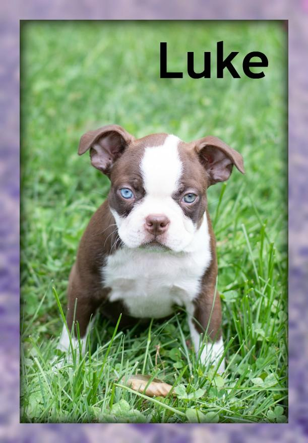 Luke: Male Boston Terrier AKC (Full Price $1050) Deposit