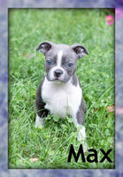 Max: Male Boston Terrier AKC (Full Price $750) Deposit