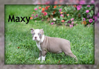 Maxy: Female Boston Terrier AKC (Full Price $1400) Deposit