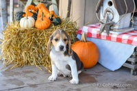 Buster Male Beagle (Full Price $250.00) Deposit