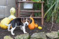 Snickers Male Beagle (Full Price $575.00) Deposit