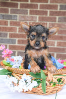 Tinker Male Yorkie (Full Price $635.00) Deposit