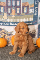 Mack Male Goldendoodle (Full Price $800.00) Deposit