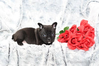 Sally Female Frenchton (Full Price $1900.00) Deposit