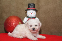 Cotton Male Bichon (Full Price $695.00) Deposit