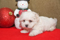 Muffin Male Teddy Bear Shih-Chon (Full Price $695.00) Deposit