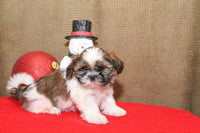 Cotton Male Teddy Bear Shih-Chon (Full Price $695.00) Deposit