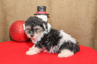 Snickers Male Yorkie-Chon (Full Price $695) Deposit