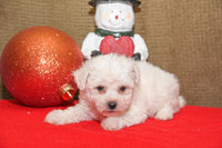 Snowball Male Bichon (Full Price $695.00) Deposit