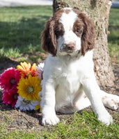 Tina Female AKC English Springer Spaniel $1200
