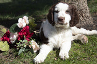 Mason Male AKC English Springer Spaniel $1200