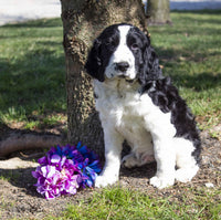 Elijah Male AKC English Springer Spaniel $1200