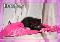 Hershey Female Short Hair Kitten $350